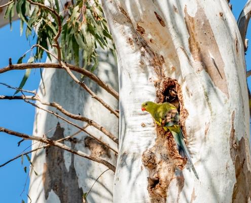 Regent parrot nesting in River Red Gum hollow
