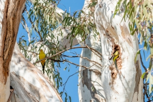Regent parrot nesting in river red gum near the Murray River